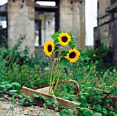 Sunflowers growing on a derelict site.
