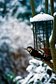 Great Sputted Woodpecker (Dendrocopos major) in London park during winter month feeding from a seed feeder.