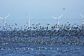 Flocks of waders at low tide. Black tailed Godwit (Limosa limosa ) and Oystercatchers (Haematopus ostralegus) in flight with offshore wind turbines. RSPB nature reserve, Dee estuary, SSSI Flintshire, North Wales, UK