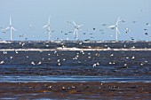 Wading birds, offshore wind turbines, Talacre Flint, RSPB nature Reserve, Dee Estuary, Wales UK