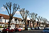 Pruned trees on a residential street in West London, UK