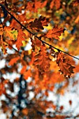 Autumn leaves, oak tree.