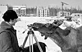 A curious elk cow sniffs at a land surveyors gadgetry on the Baikal-Amur Railroad construction site, Sakha Republic, Russia, 1978