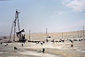 Sheep herd grazing at Apsheron oil-field, Azerbaijan, 1998