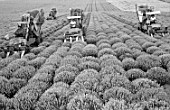 Krym harvesters gather lavender, Krymskaya Roza essential oil extraction combine in the Crimea, Ukraine, USSR, 1984