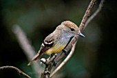 Large billed Flycatcher, Galapagos, Equador