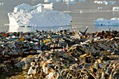 Rubbish dumped on the tundra outside Illulissat in Greenland with icebergs behind from the Sermeq Kujullaq or Illulissat Ice fjord. The Illulissat ice fjord is a Unesco world heritage site