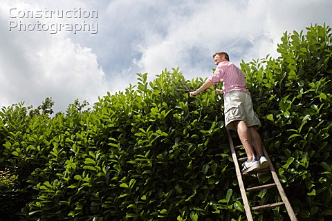 Man on ladder trimming hedge