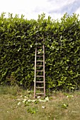 Wooden ladder by hedge
