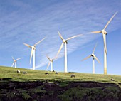 Sheep grazing in Front of Wind Turbines
