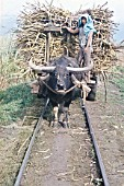 A water Buffalo brings cane to the rail head on the Ma Ao Sugar Central on the Philippines island of Negros. Monday 4th November 1974.