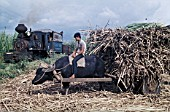 Water Buffalo known as Carabaos bring the cane to the railhead as Alco Mogul No.2 arrives with empties. A scene on the Nakalang Line of the Ma Ao Sugar Central on the Philippines island of Negros on Monday November 4th 1974.