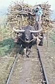 A water buffalo brings cane to the railhead on the Ma Ao Sugar Central network on the Philippine island of Negros on Monday 4th November 1974.